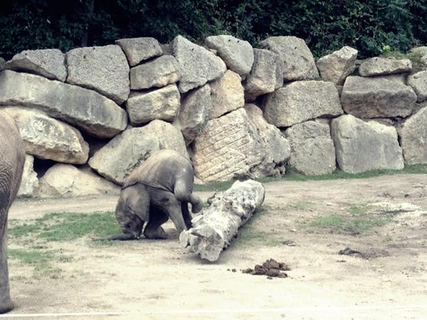 Слоненок запнулся