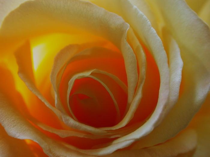 роза1 (700x525, 63Kb)