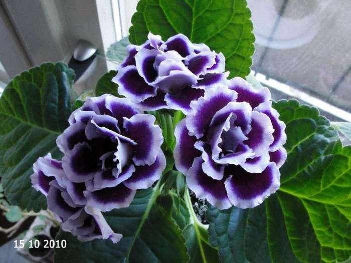 Цветок Глоксиния махровая Брокад Блу Энд Вайт, семена Интернет-магазин RUScemena.ru.