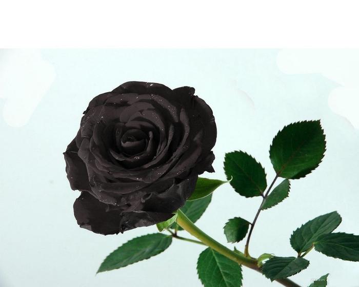 Черный цветок картинка 5
