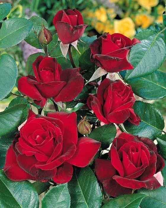 красные  розы (560x700, 158Kb)