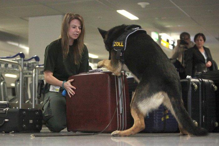 Овчарка Дина- собака с супернюхом. 74596
