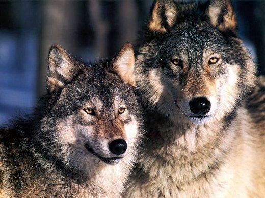 1340054639_kartinki24_wolves_0015 (520x390, 61Kb)