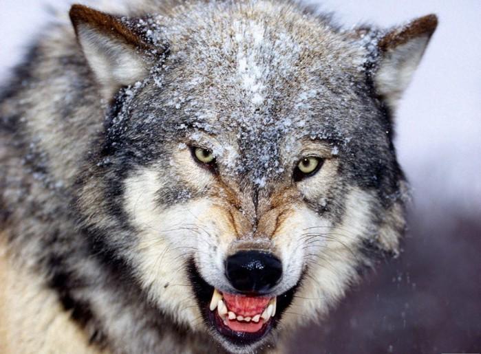 021_wolf (700x515, 111Kb)