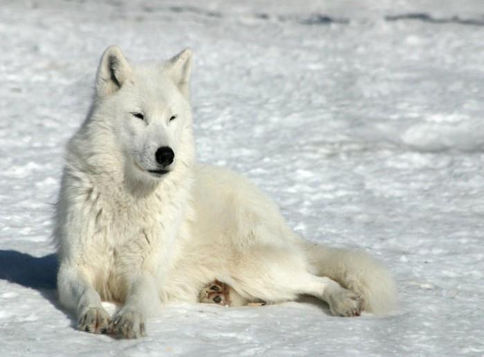 042_wolf (700x515, 66Kb)