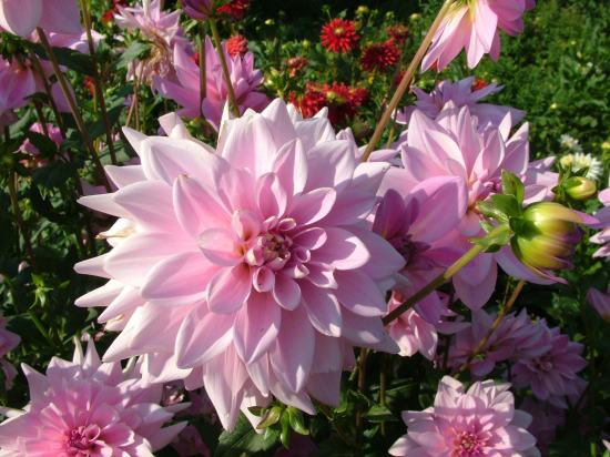 7art-00248_Dahlia-decorative-tender-pink-flowers-1 (550x412, 47Kb)