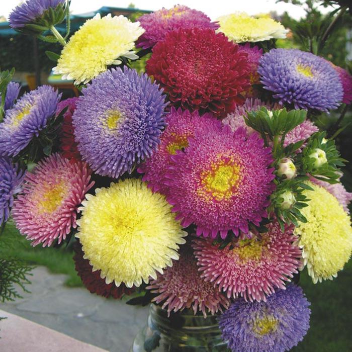 астра.jpg. цветы Астра.