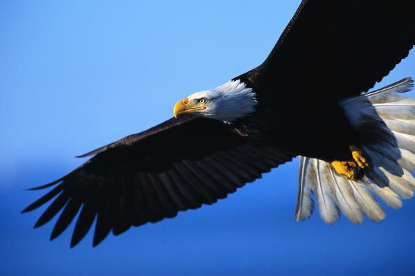 orel_jpg++ орёл, летящий над городом (600x399, 18Kb)