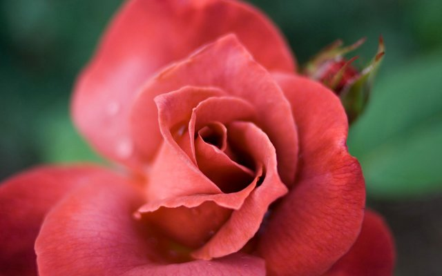 2888-rose-close-up (640x400, 28Kb)