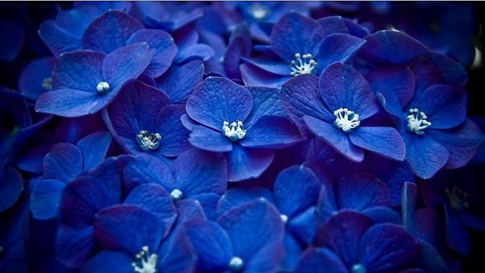 blaue-blume-852x480 (700x394, 77Kb)