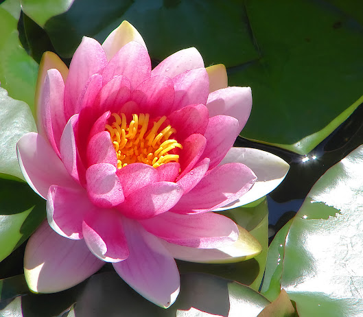 Pink_water_lily (529x462, 94Kb)