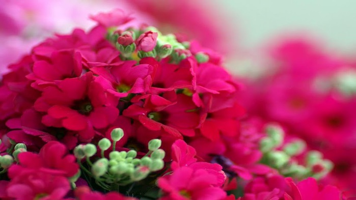 rose-bloom-flower-cluster-wallpaper,1366x768,62965 (700x393, 59Kb)