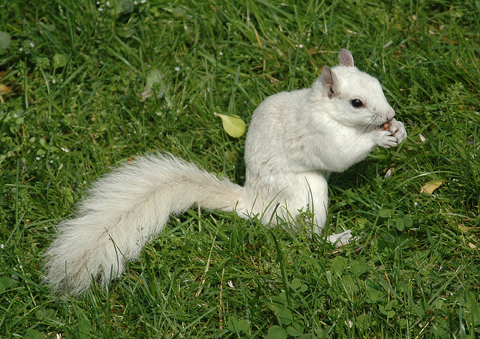 white_squirrel (700x495, 519Kb)