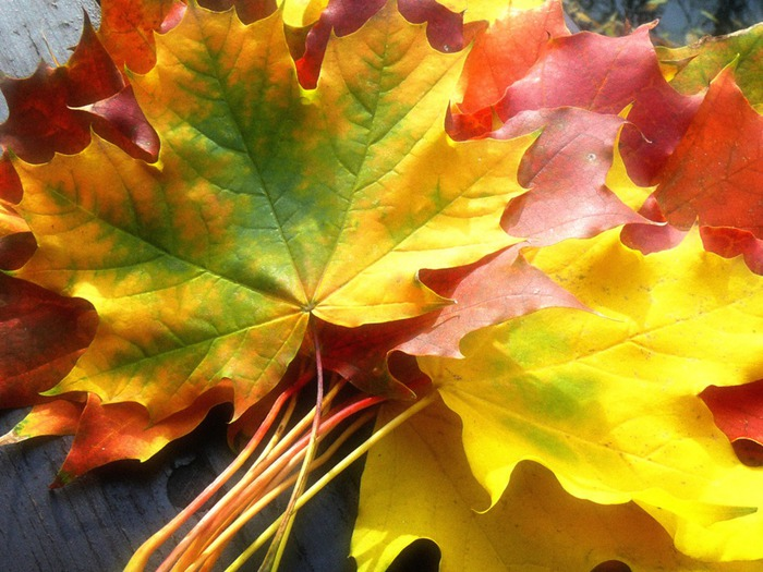fall_leaves_wallpaper_autumn_nature_wallpaper_1024_768_1030 (700x525, 121Kb)