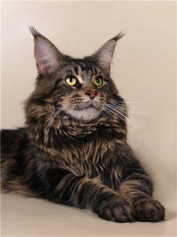 фото мэйкун. фото кота, мэйкун, мэй кун, мейкун, мей кун, мейнкун, мейн кун.
