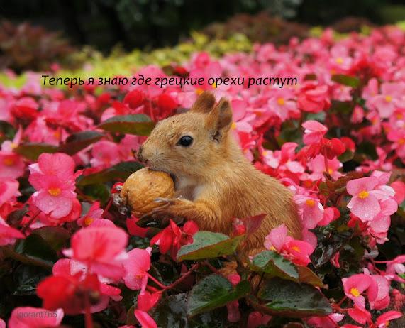 06 теперь я знаю, где грецкие орехи растут... (571x462, 121Kb)