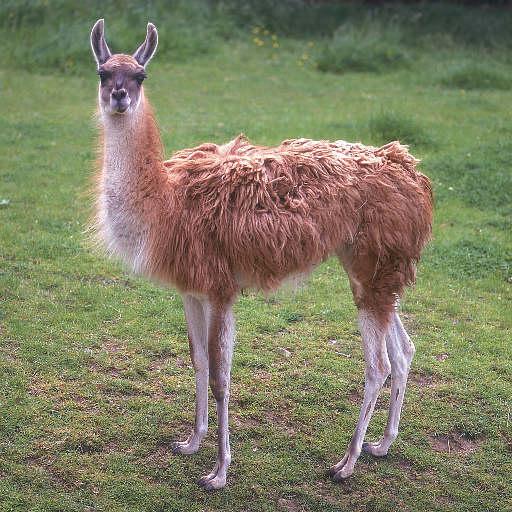 lama (512x512, 67Kb)