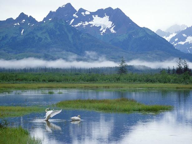 Trumpeter Swans, Copper River Delta, Alaska (616x462, 88Kb)