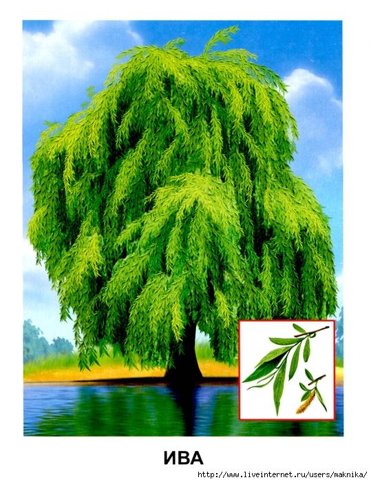 Деревья (11) (539x700, 355Kb)