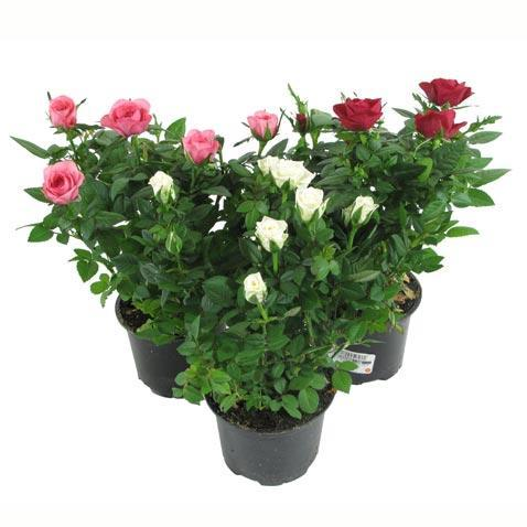 комнатная роза (478x478, 30Kb)