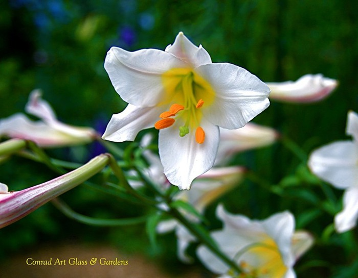 Лилейник - цветок одного дня 7 (700x545, 72Kb)