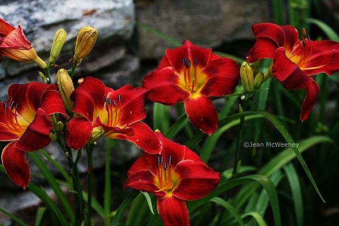 Лилейник - цветок одного дня 9 (700x466, 81Kb)