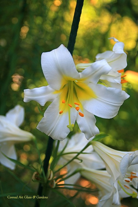 Лилейник - цветок одного дня 10 (466x700, 69Kb)
