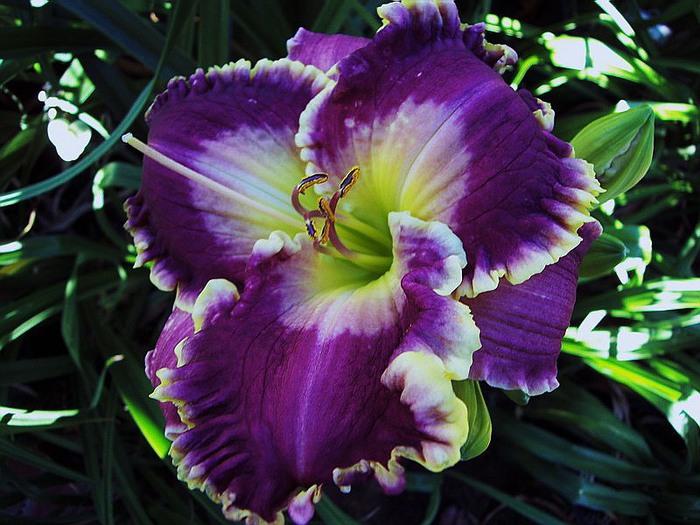 Лилейник - цветок одного дня 13 (700x525, 116Kb)