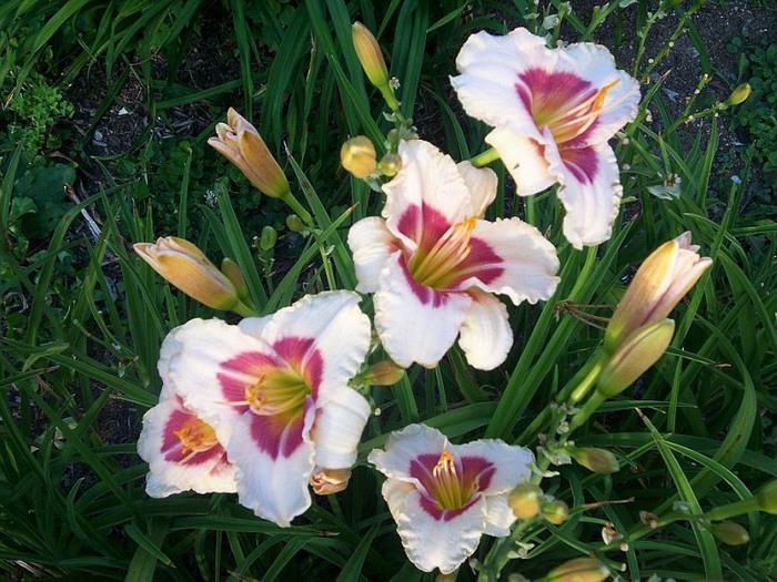 Лилейник - цветок одного дня 14 (700x525, 139Kb)