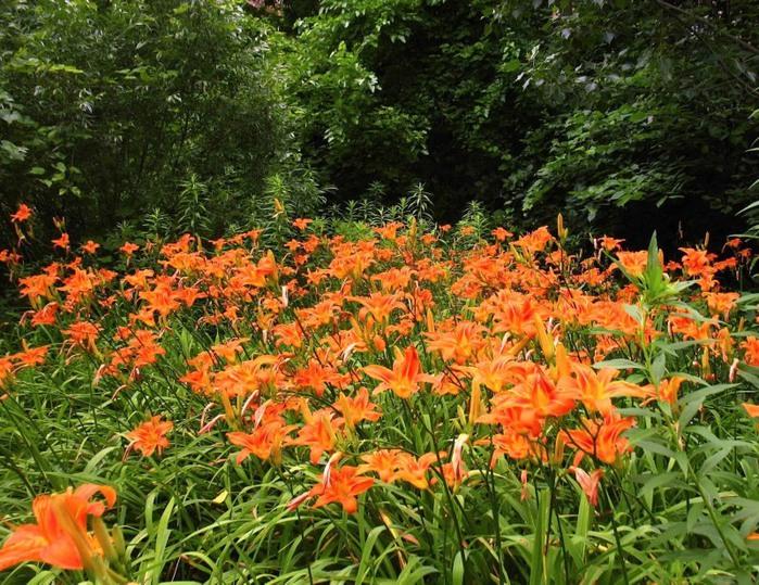 Лилейник - цветок одного дня 25 (700x539, 189Kb)