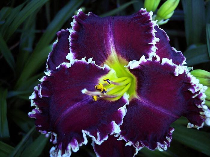 Лилейник - цветок одного дня 32 (700x525, 105Kb)