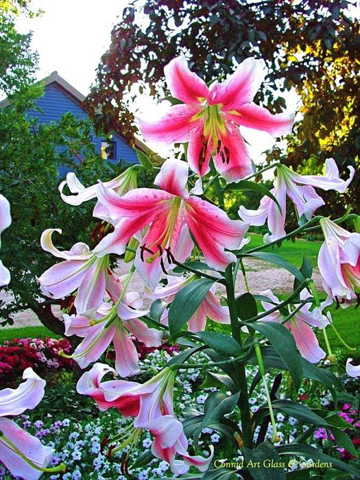 Лилейник - цветок одного дня 49 (525x700, 194Kb)
