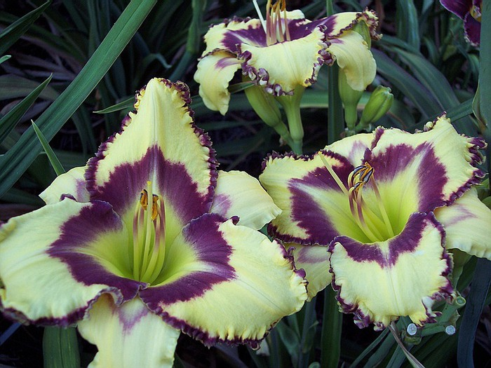 Лилейник - цветок одного дня 62 (700x525, 124Kb)