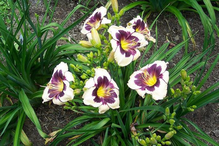 Лилейник - цветок одного дня 70 (700x467, 162Kb)