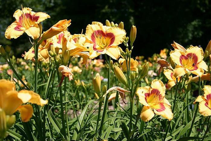 Лилейник - цветок одного дня 77 (700x466, 138Kb)