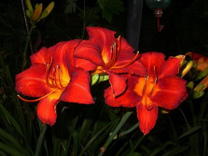 Лилейник - цветок одного дня 82 (700x525, 82Kb)