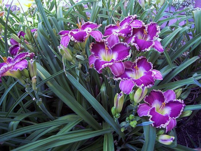 Лилейник - цветок одного дня 83 (700x525, 165Kb)