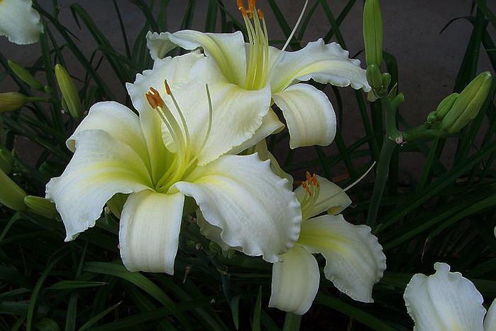 Лилейник - цветок одного дня 105 (700x466, 87Kb)