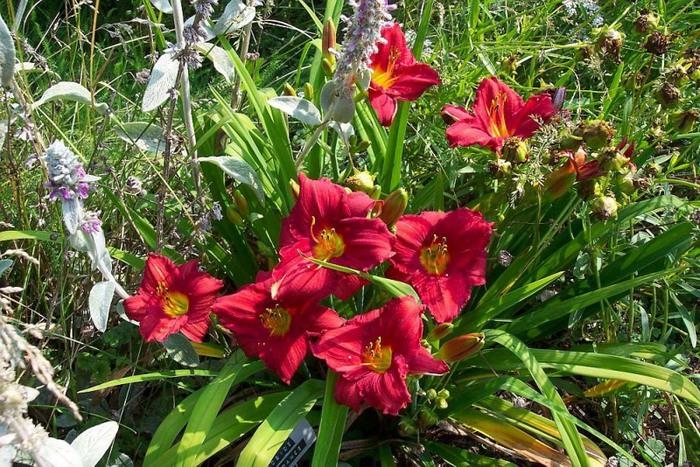Лилейник - цветок одного дня 110 (700x467, 175Kb)