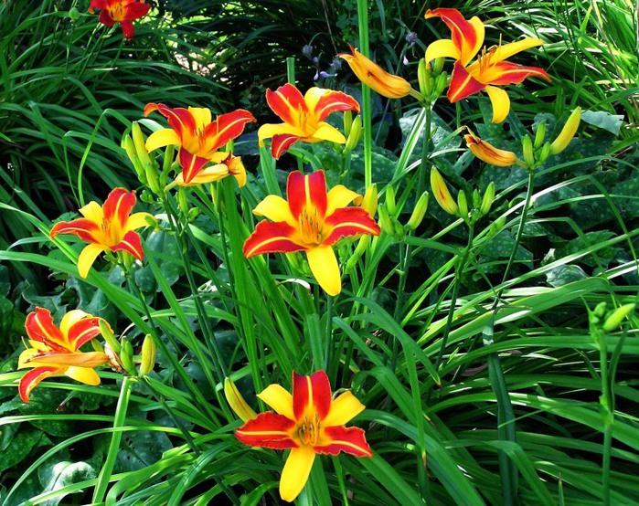 Лилейник - цветок одного дня 114 (700x554, 185Kb)