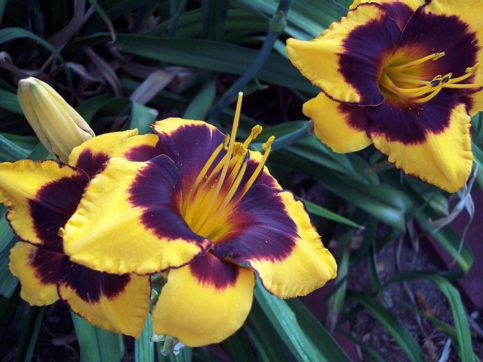 Лилейник - цветок одного дня 120 (700x525, 109Kb)