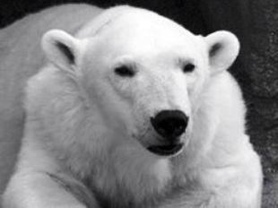 Белый медведь Алан (310x232, 10Kb)