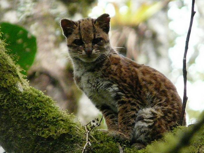 ОНЦИЛЛА кошка-ягуар (700x524, 130Kb)