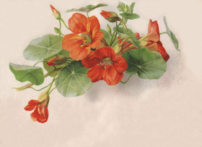 Vict-Vign_flowers-red001 (700x509, 53Kb)