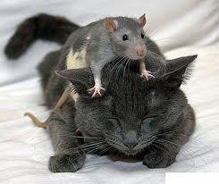 крыса кот/3518263_rjn (245x206, 8Kb)