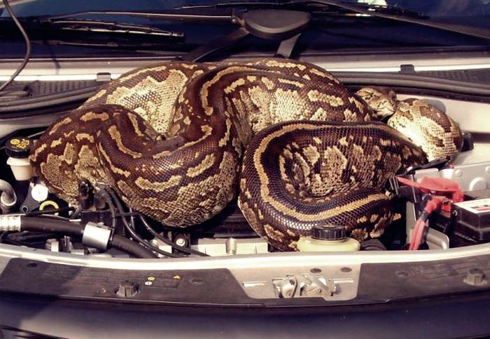 Гигантский питон под капотом автомобиля