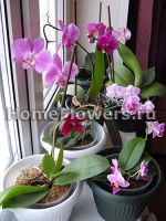 images-stories-orchids-phalaenopsis_poliv_1-150x200 (150x200, 10Kb)