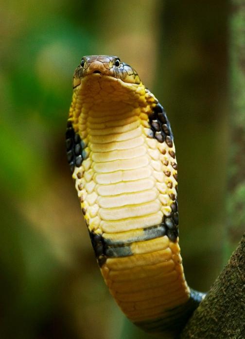 188_8838-king-cobra-head (504x700, 232Kb)