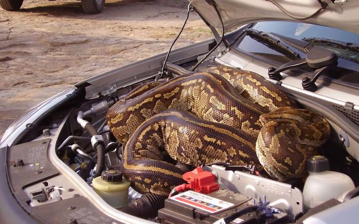 питон под капотом авто 1 (700x437, 115Kb)