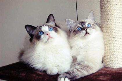 породы котов 12 (420x279, 16Kb)